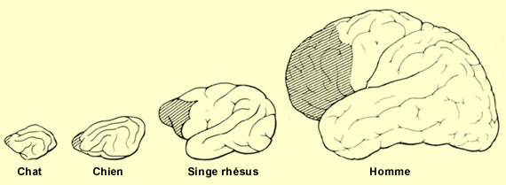 Evolution_du_cortex_prefrontal